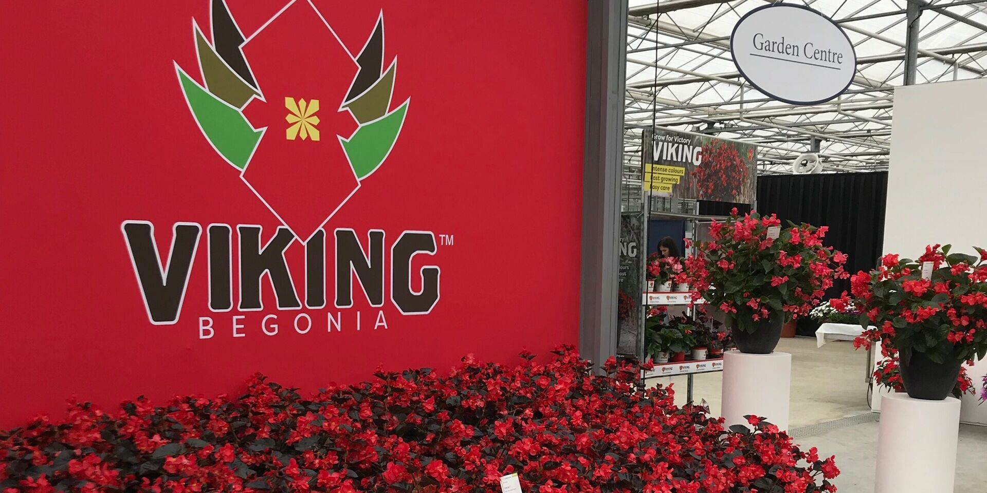 Begonia Viking – The new STAR in the «Begonia Sky»